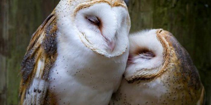 5 Cara Membedakan Burung Hantu Jantan dan Betina Bagi Pecinta Burung