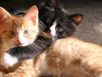 8 Cara Membedakan Kucing Jantan dan Betina Dengan Mudah