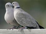5 Cara Membedakan Burung Perkutut Jantan Dan Betina Dengan Tepat
