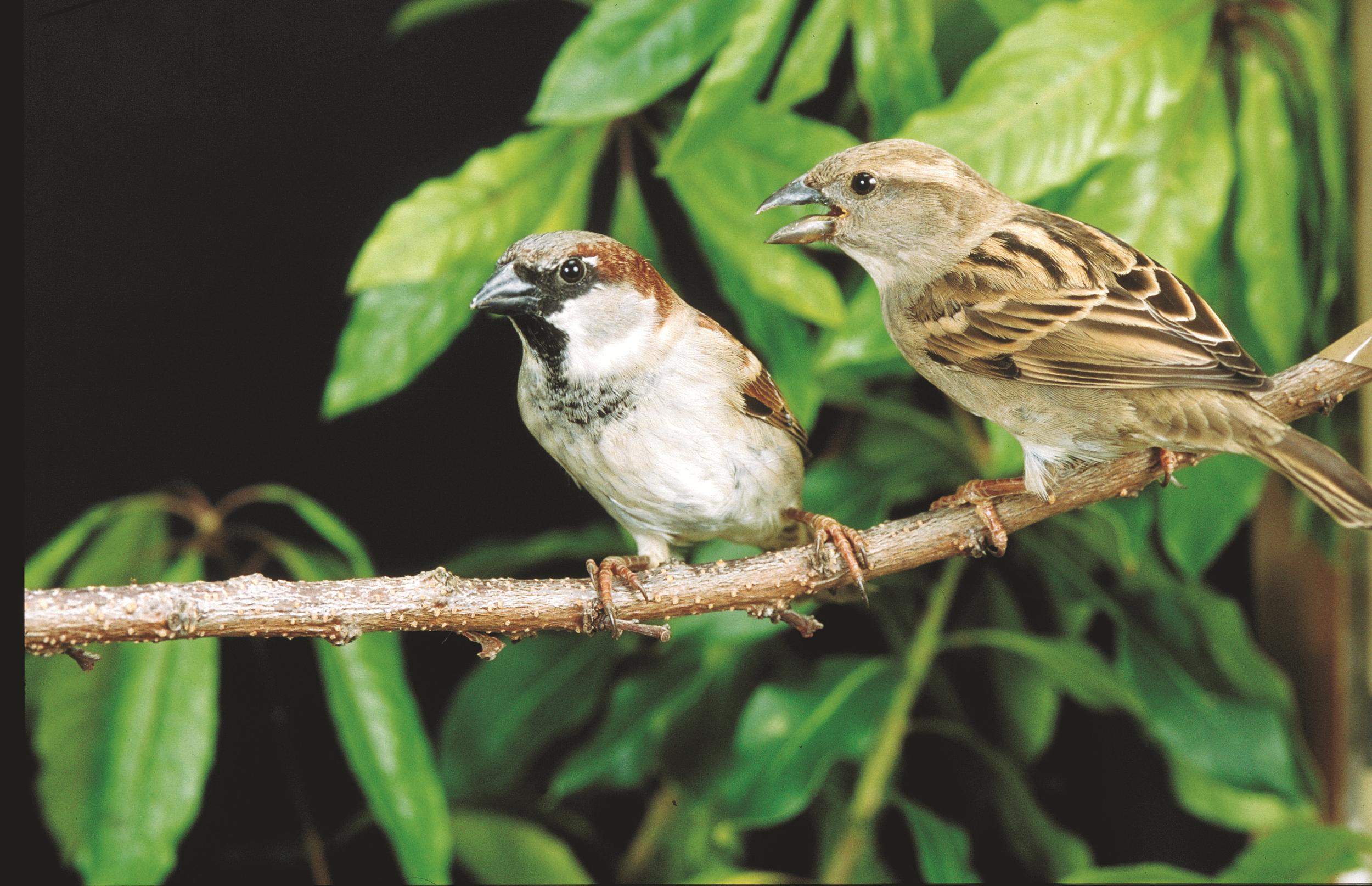 Cara Membedakan Burung Gereja Jantan Dan Betina yang Perlu Diketahui