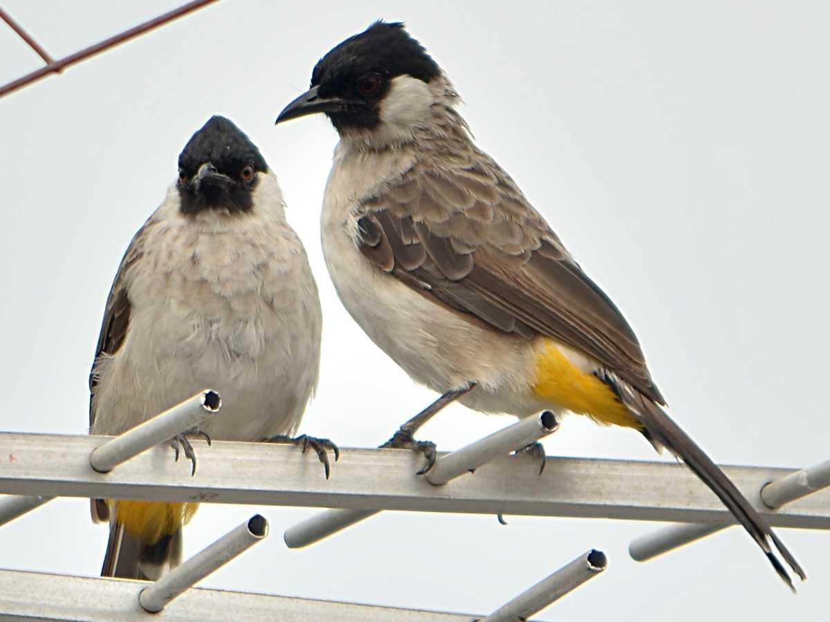 Cara Membedakan Burung Kutilang Jantan Dan Betina Dengan Mudah