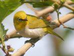 Intip Trik Mudah Cara Membedakan Burung Pleci Jantan Dan Betina