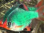 Tips Budi Daya Serta Cara Membedakan Ikan Green Tiger Jantan dan Betina